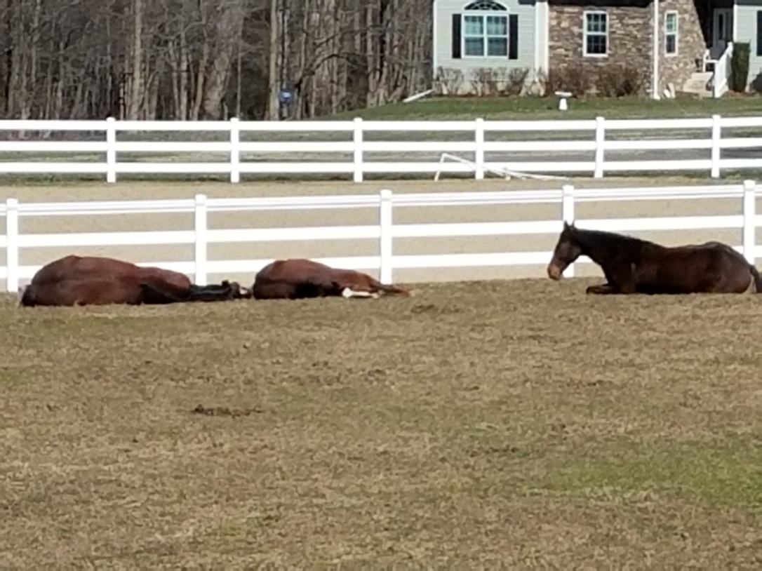 Three Horses Lying Down